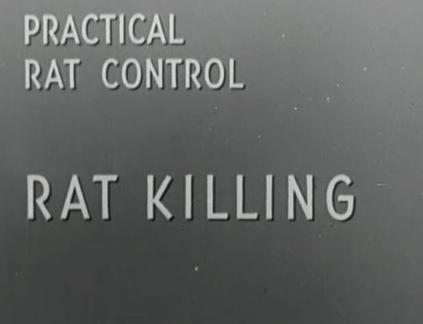 practical rat control KILLING.JPG
